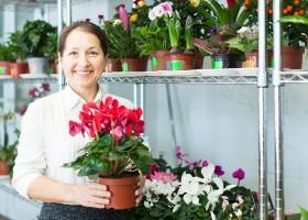 Как выращивать цикламен в домашних условиях
