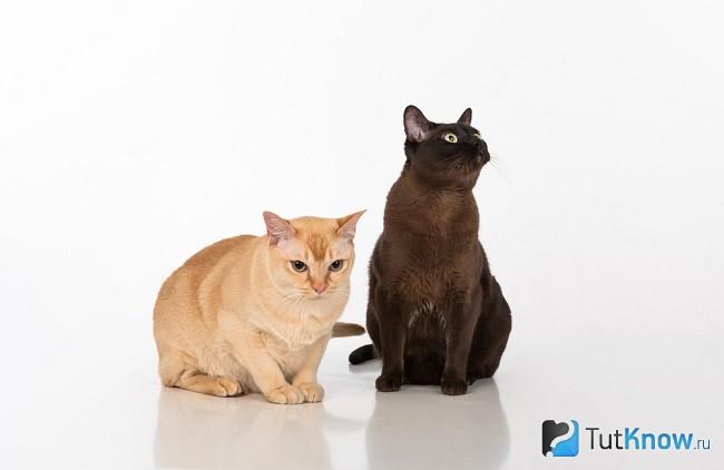 Уход за бурманских кошек