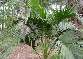 Как вырастить пальму в домашних условиях