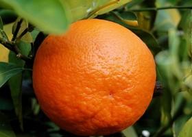 лимон от гельминтов
