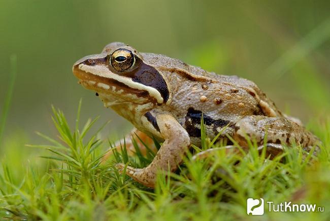 Остромордая лягушка в траве