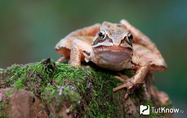 Мордочка остромордой лягушки