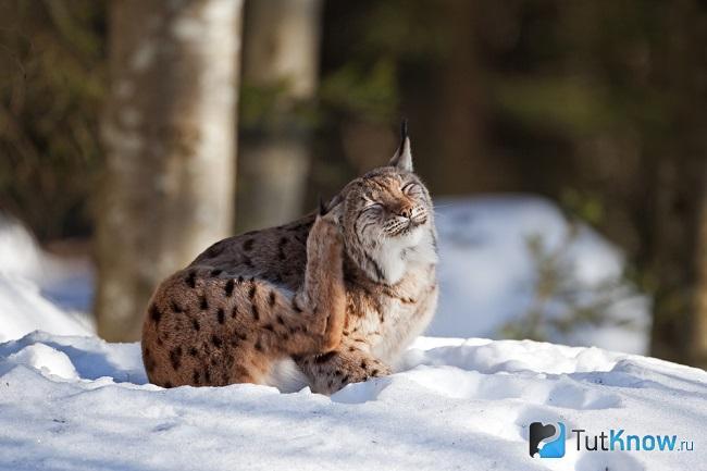Домашняя рысь на снегу
