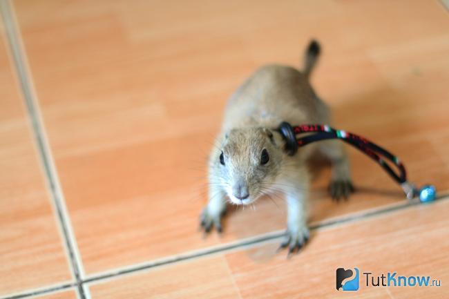 Луговая собачка на поводке