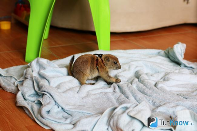 prairie dog грызет полотенце
