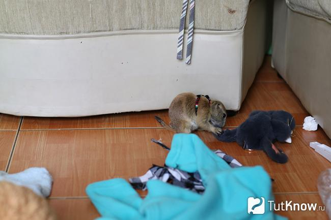 Луговая собачка грызет мягкую игрушку