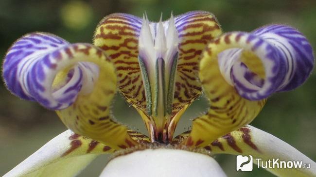 Цветеник неомарики