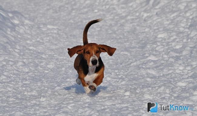 Артезиано-нормандский бассет бежит по снегу