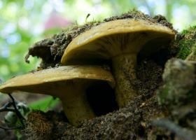 Чернушка как условно-съедобный гриб