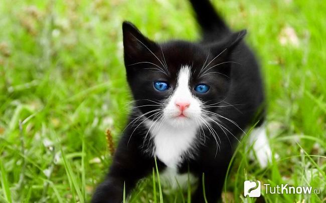 Котёнок охоса азулеса