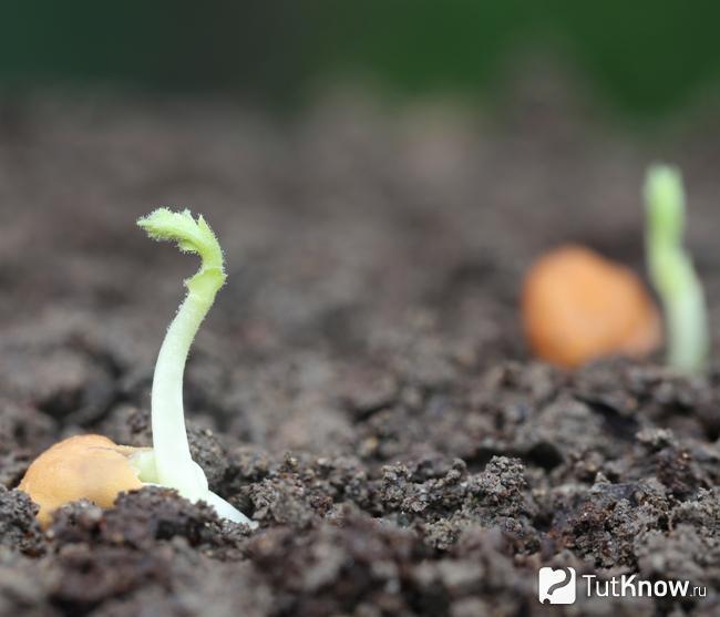 Как растут бобы нута
