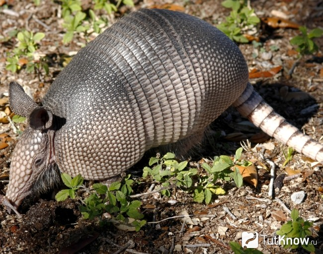 invasive species armadillo